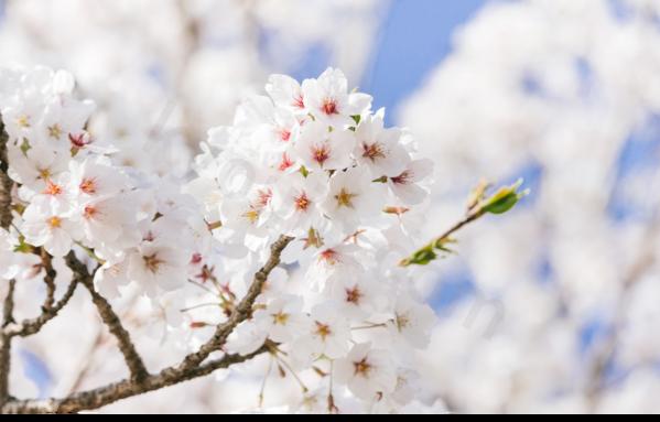 桜綺麗に咲く