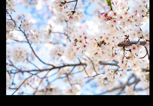 綺麗に咲く桜